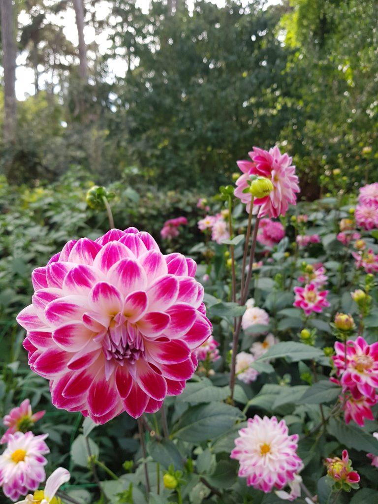 fleur rose vincennes
